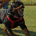 5 Of The Best Guard Dog Breeds