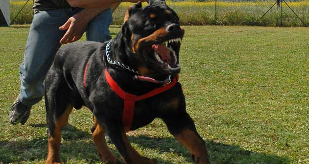 Rottweiler training as guard dog