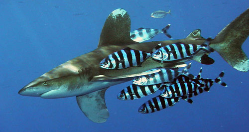 whitetip-shark