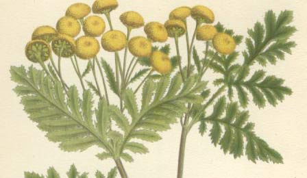 Tansy herb plant