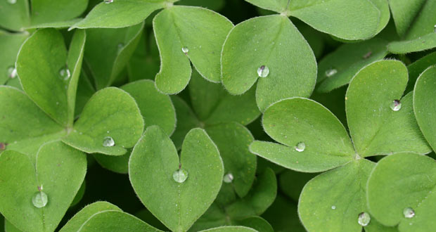 close up of shamrock
