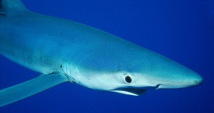 Top 5 Most Dangerous Species of Sharks